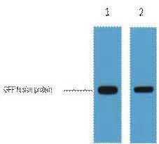 Polyclonal vs Monoclonal Antibodies - Pacific Immunology